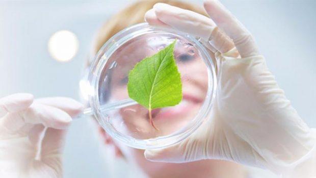 A birch leaf in petri dish.