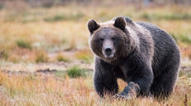 brown_bear_2_kaisa-korhonen-620