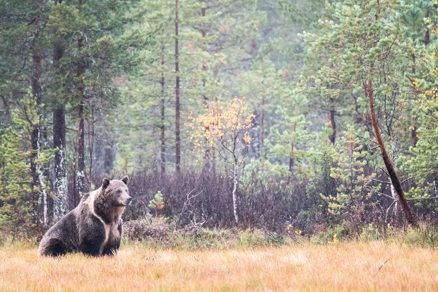 A bear in a forest.