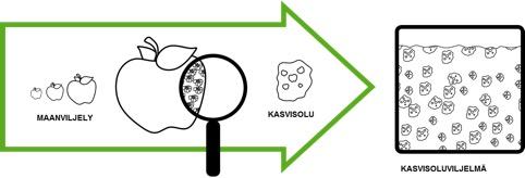 Kaaviokuva kasvisoluviljelmästä.