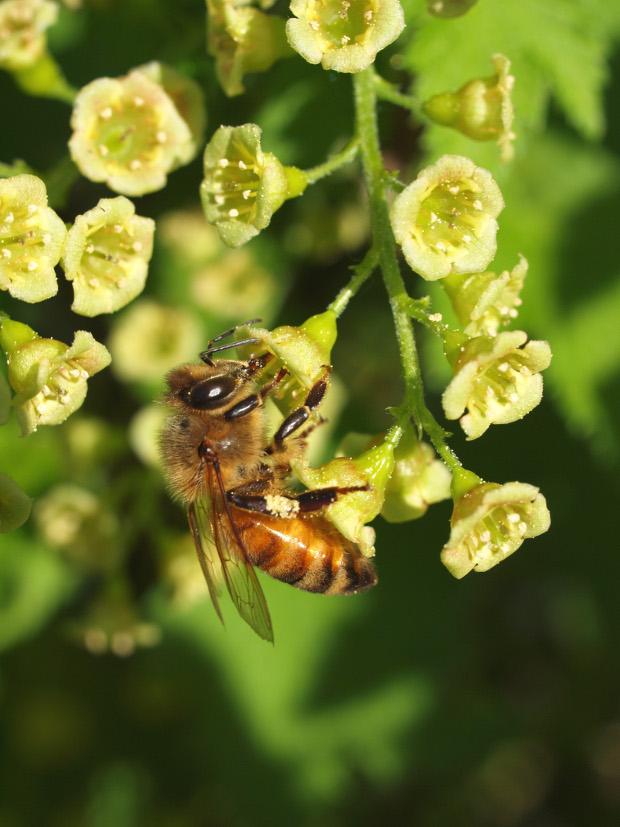Mehiläinen kukalla.