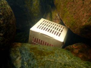 Mätirasia veden alla kivenkolossa.