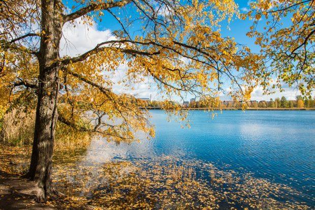 Lehtipuu keltaisessa syyspuvussa Töölönlahdella.