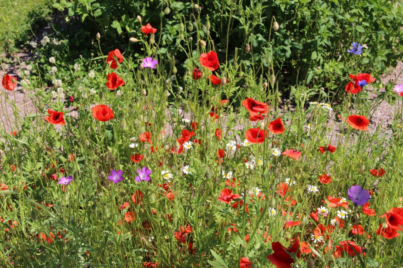 Unikkoja ja muita kukkia kasvamassa niityllä.
