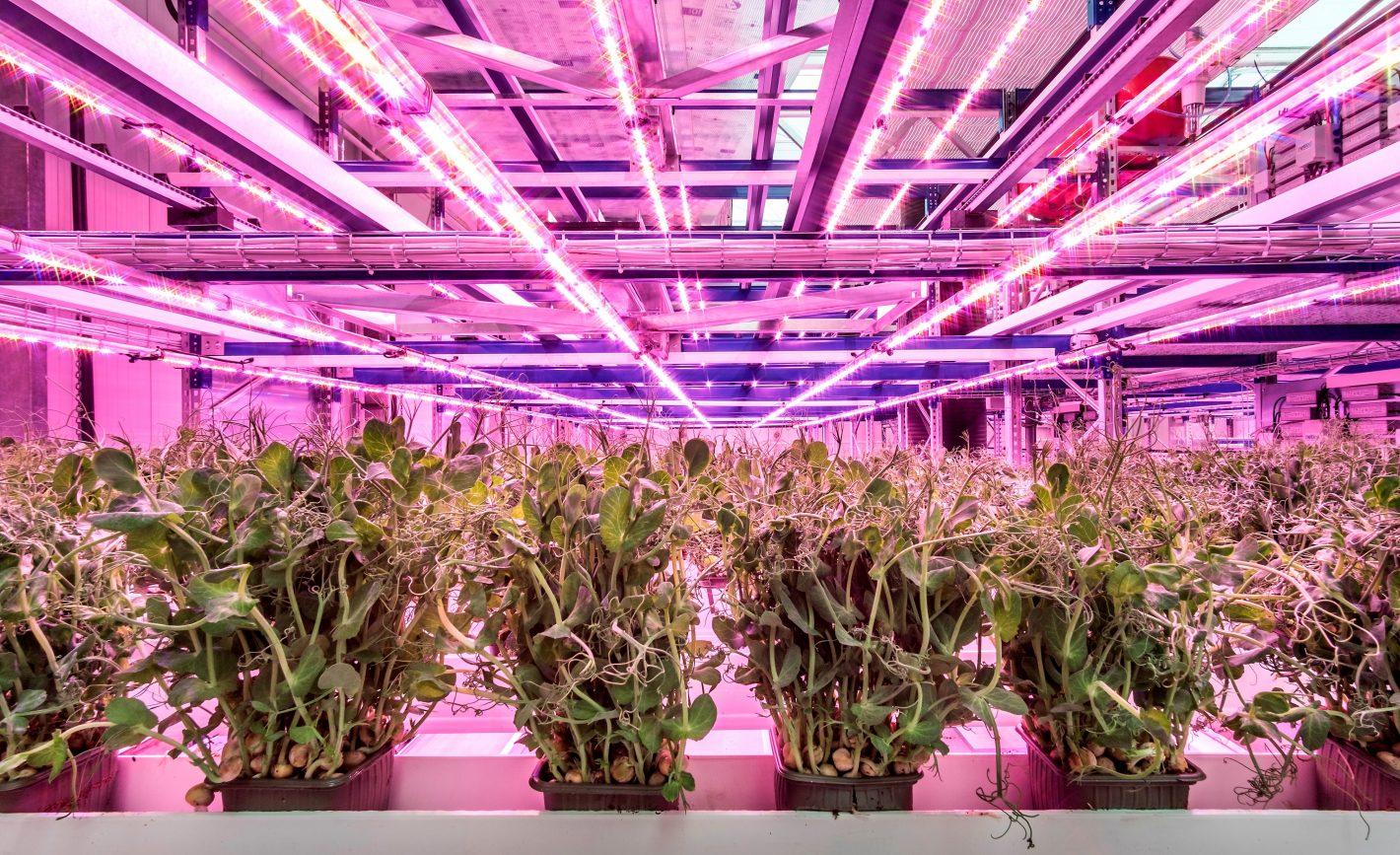 Salaattiversoja kasvihuoneen violetissa valossa.