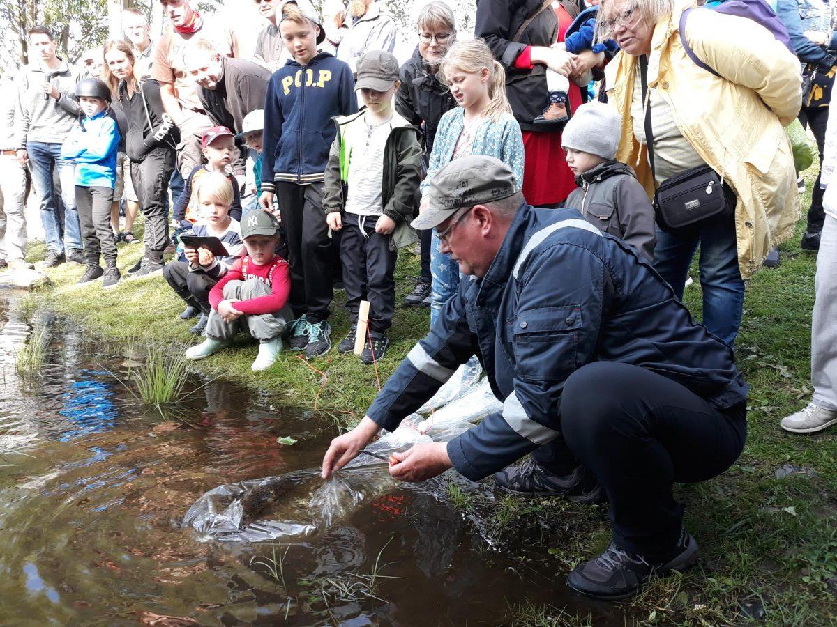 Yleisö katsoo kun taimenia vapautetaan Hupisaarten puroon.