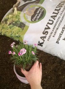 Kukkien istuttamista kasvualustaan ruukkuun.