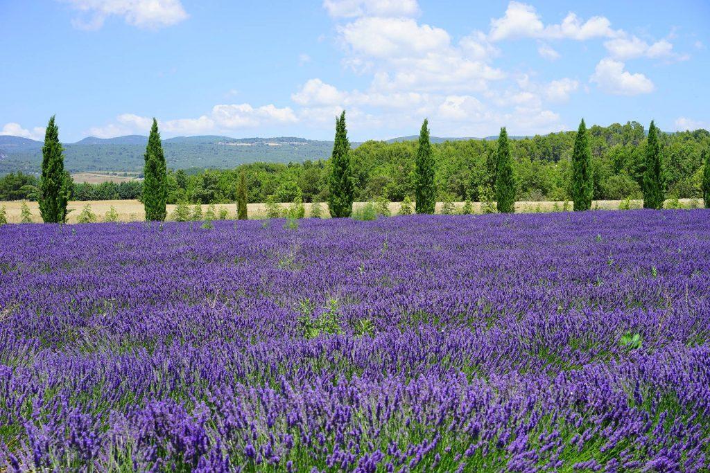 Peltomaisema laventeli