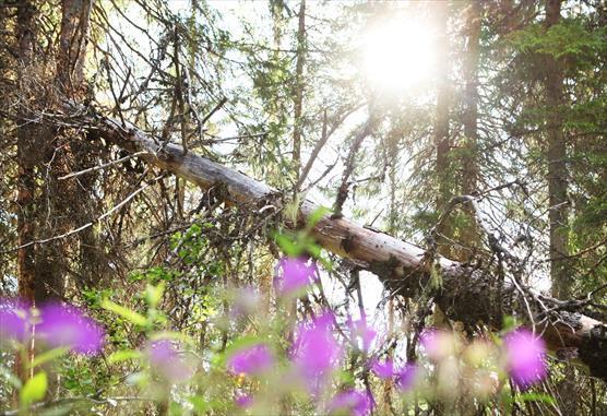 Kuva Losonvaarasta, kaatunut lahopuu ja kukkia