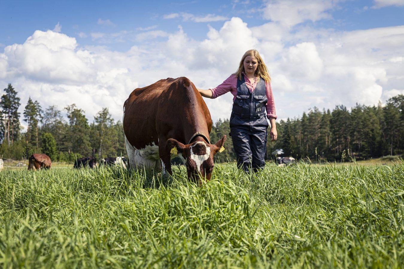 Laiduntava lehmä ja nainen.